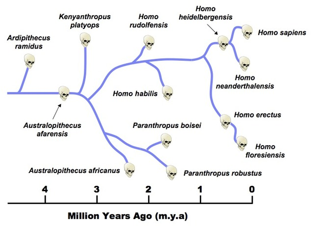 Hominid Evolution Timeline Ancestral Players